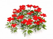 Red flowers in form of hearts — Stock Photo
