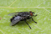 Fly sitting on a leaves - closeup — Stock Photo