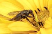 Fly sitting on a yellow flower - closeup — Stock Photo