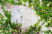 The Green Creeper Plant on wall — Stock Photo