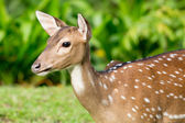 Spotted fallow deer — Stock Photo