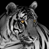 Black and white tiger — Stock Photo