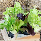 Salad greens from the garden in a wicker basket — Stock Photo