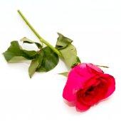 Rosa roja aislado sobre fondo blanco — Foto de Stock