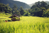 Rice field with hut — Stock Photo