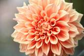 Close-up of pnk flower in autumn — Stock Photo