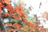 Maples leafs — 图库照片