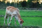 Calves graze — Stock Photo