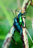Green Beetle mating — Stock fotografie