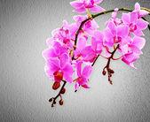 Pink orchid flowers — Foto de Stock