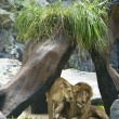 Profile of a relaxed African lion staring in the zoo — Stock Photo #72515309