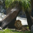 Profile of a relaxed African lion staring in the zoo — Stock Photo #72515315