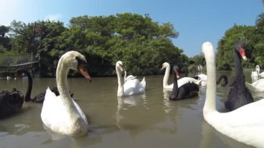 Swans swimming on the pond. HD — Wideo stockowe