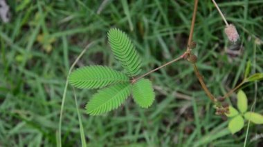 Mimosa pudica is sensitive plant. HD — Stock Video