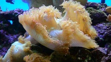 Sea anemone. HD — Stock Video