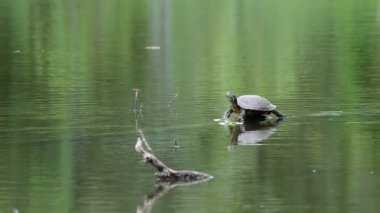 Turtle a springboard in water. — Stock Video