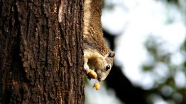Squirrel eating nut on tree. — Stock Video