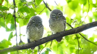 Owls on a tree. — Stock Video