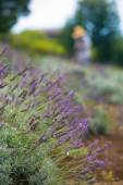 Lavender Harvest on Hillside — Stock Photo