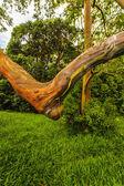 Rainbow Ecalyptus Tree — Stock Photo