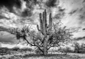 Saguaro and Mesquite Nurse Tree — Stock Photo