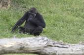 The western lowland gorilla (Gorilla gorilla) — Stock Photo