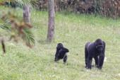 Západní nížinná gorila (gorilla gorilla) — Stock fotografie