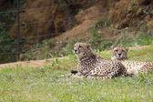 The cheetah (Acinonyx Jubatus) — Stock Photo