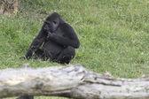 The western lowland gorilla (Gorilla gorilla) — Stock Photo