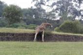 The giraffe (Giraffa camelopardalis) — Stock Photo