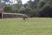 O avestruz (struthio camelus) — Fotografia Stock