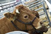 Torrelavega (cantabria), españa - 10 de septiembre de 2014: feria de ganado nacional torrelavega — Foto de Stock