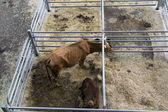 Torrelavega (Cantabria), Spain - September 10, 2014: National Cattle Fair Torrelavega — Foto Stock