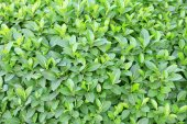 Beautiful green bush close up — Stock Photo