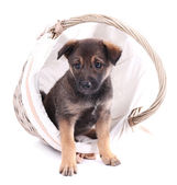 Funny puppy in round braided basket isolated on white — Stok fotoğraf