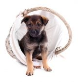 Funny puppy in round braided basket isolated on white — Foto Stock