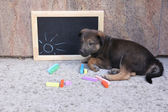 Puppy and blackboard and chalk on floor — Stock Photo