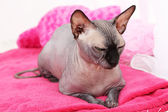 Beautiful gray sphinx cat relaxing on plaid in room — Stockfoto