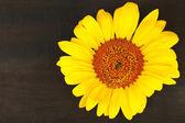 Beautiful sunflower on wooden background — Stock Photo