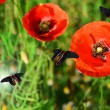 Poppy flowers with butterflies outdoors — Stock Photo #52335693