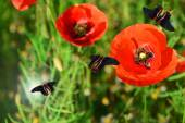 Poppy flowers with butterflies outdoors — Stock Photo