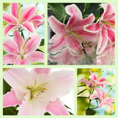 Collage of beautiful pink lilies — Stock Photo