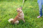 Drôle mignon chien jouant avec baguette en bois, en plein air — Photo