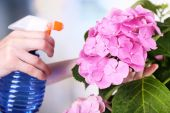Process of caring for hydrangea flower — Stock Photo