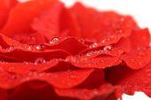 Water drops on rose petals, close-up — Stock Photo