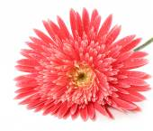 Beautiful gerbera with drops isolated on white — Stock Photo