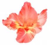 Beautiful gladiolus flower — Stock Photo