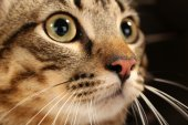 Grey cat's muzzle — Stock Photo
