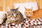 Two cats on blanket and pillow — Stock Photo