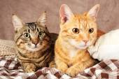 Two cats on blanket — Stock Photo
